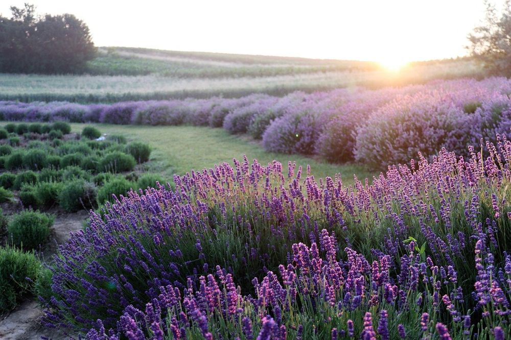 Field and hill with lavender flowers